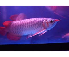Super Red  Arowanas Fish For Sale & Many Others Now