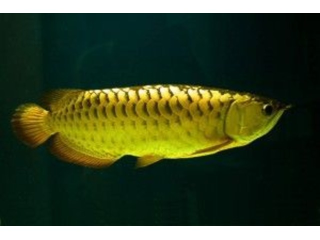24k Golden Arowana Fish For Sale And others Now - Animals - Albany ...