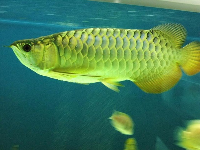 Golden Arowana Fish For Sale And others Now - Animals - Almo ...