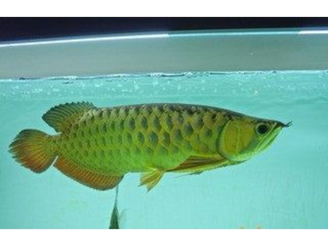 Quality and healthy +A Grade Arowanas for sale at affordable prices