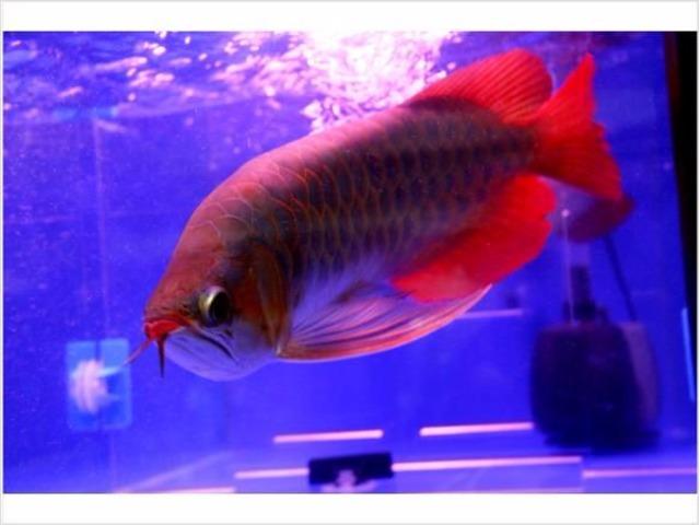 Red arowana fish for sale animals anderson indiana for Red arowana fish for sale in usa