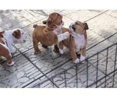 English bulldog puppies for rehoming  .