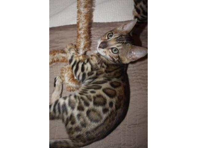 gorgeous tica registered Male Bengal Kitten - Animals ... Bengal Cat Denver Co