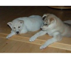 Purebred Siberian Huskies Puppies For for Christmas Gift