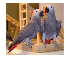 Blue and Gold Macaw Parrots	 for Christmas Gift.
