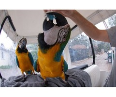 Home raised Macaw birds available for Christmas.