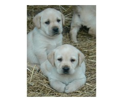 Akc registered labrado puppies