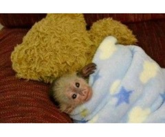 Adorable Ckc Reg. Capuchin monkeys For Re homing