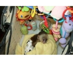 Cute Excellent male and female  Capuchin monkeys For Re homing