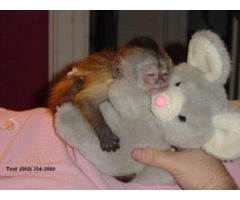 Champion Capuchin monkeys For Re homing