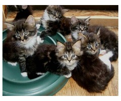 Stunning Maine Coon Kittens-Ready For New Homes Now
