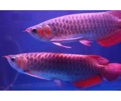 24K Golden Arowana FIsh For Sale and Many Others