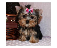 HOME TRAINED YORKIE PUPPIES FOR FREE ADOPTION