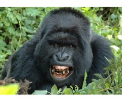 Get The Best Breathtaking Experience Of African Gorilla Tours