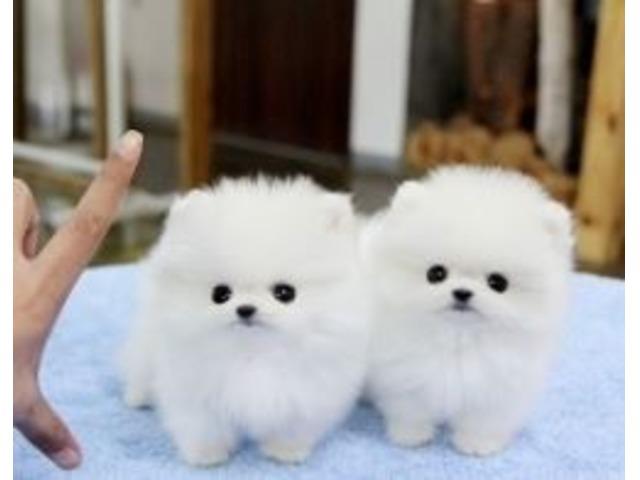 Stunning Teacup Pomeranian Pups Available Animals