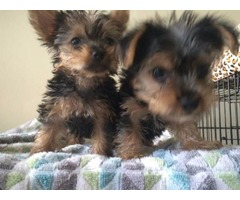 Gorgeous Yorkshire Terrier puppies for a new home