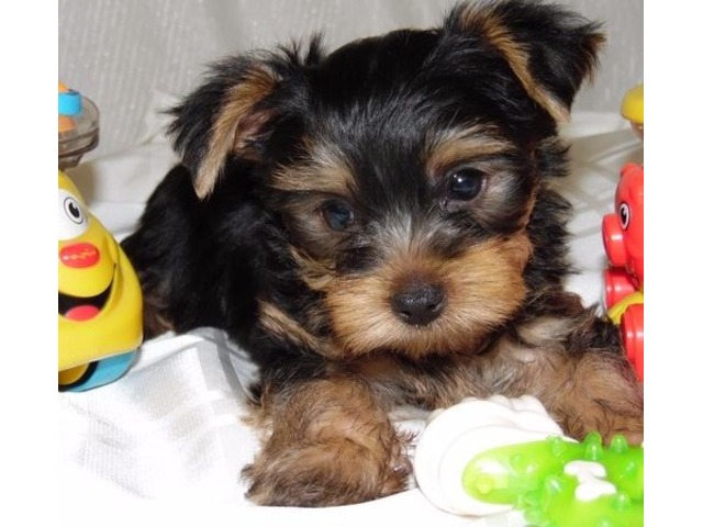 yorkshire terrier puppy for adoption