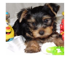 Teacup Yorkshire Terrier Puppies for adoption