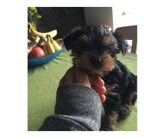 Cute Tiny Yorkshire Terrier Puppies For Adoption