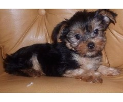 Lovely  Yorkshire Terrier  Puppies For Adoption