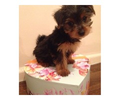 Lovely Teacup Potty trained male and female Yorkshire Terrier  puppies for adoption