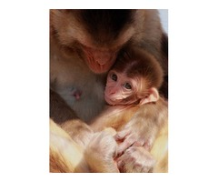 Exceptional Top Quality Baby Capuchin monkeys for adoption.