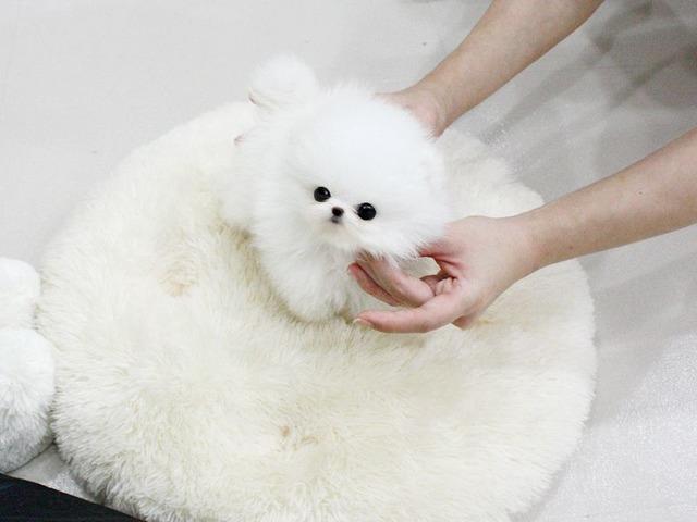 Teddy Bear Face Micro Tiny Pomeranian Puppies Animals Buffalo