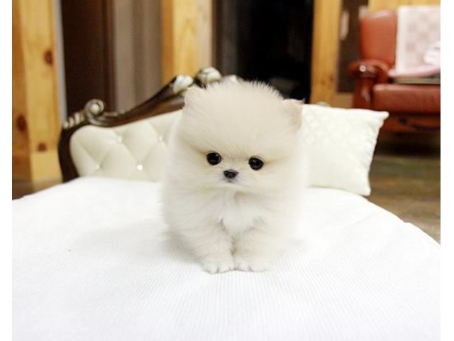 Charming Micro Tiny Teacup Pomeranian Puppies For Sale Animals