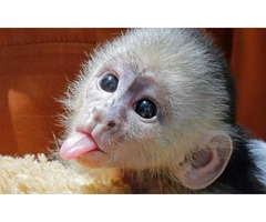 Cute Capuchin Monkeys now Available.
