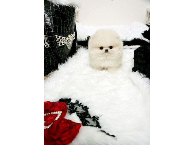 Alluring Micro Tiny Teacup Pomeranian Puppies For Sale Animals