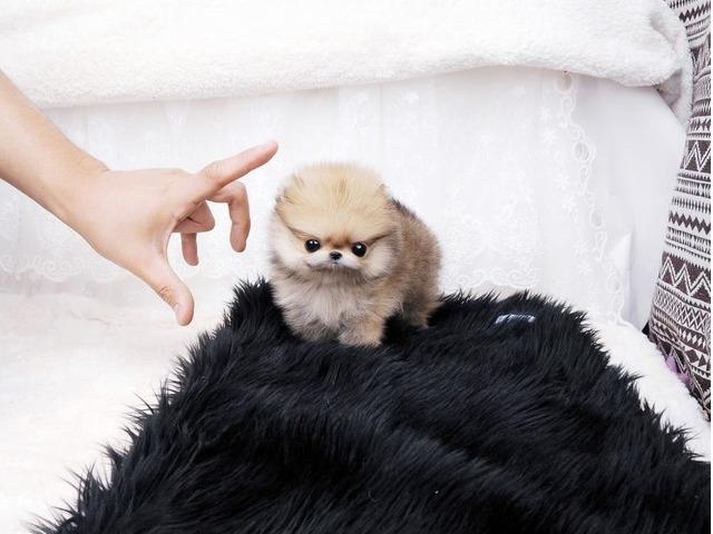 Quality Teddy Bear Face Micro Tiny Teacup Pomeranian Puppies For