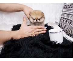 Outstanding  Micro Tiny Pomeranian Puppies For Sale