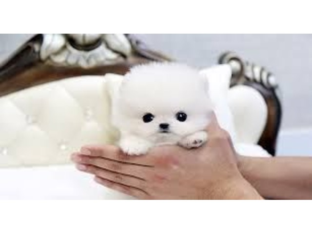 Cutest Micro Tiny Teacup Pomeranian Puppies For Sale Animals