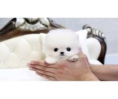Cutest Micro Tiny Teacup Pomeranian Puppies For Sale