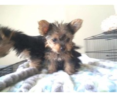 Tremendous Yorkshire Terrier puppies available