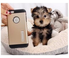 Friendly male and female  Yorkshire Terrier  Puppies