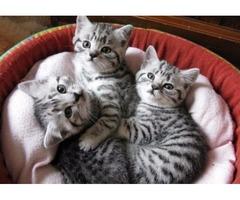 British Shorthair kittens For Adoption