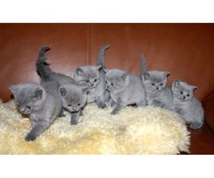 Flat Face BSH male and Female Purebred British Shorthair- 6 Kittens