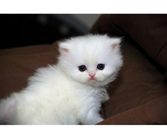 Amazing Teacup Persian Kittens Ready