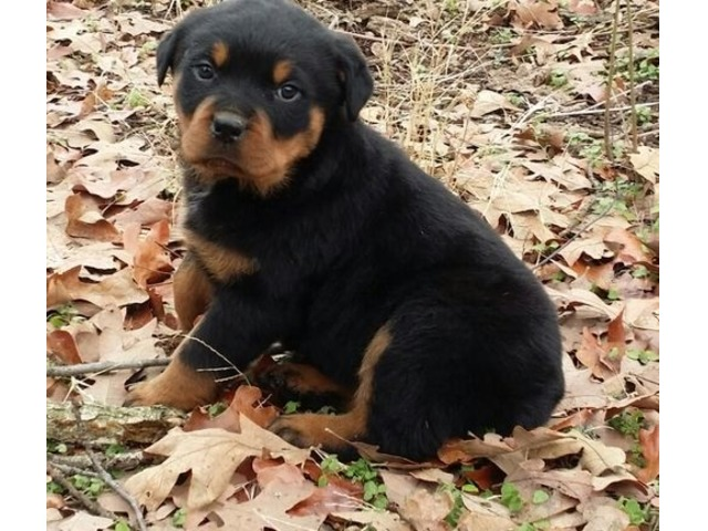 Playful Rottweiler Pups Ready Now | free-classifieds-usa.com