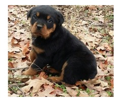Playful Rottweiler Pups Ready Now