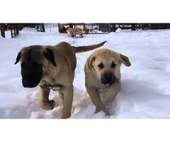Anatolian Shepherd puppies