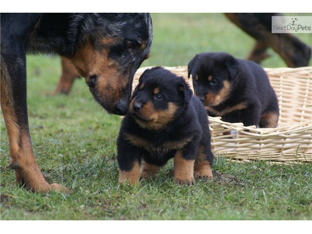 Beauceron Puppies Animals Allenspark Colorado Announcement 35882