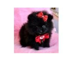Both males and females pomeranian puppies