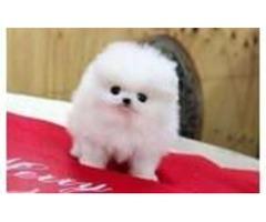 Beautiful, white Pomeranian girl is looking