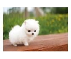 Gorgeous Tiny pomeranian Puppies For Adoption
