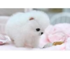 Pomeranian Terrier Puppies small size