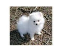 Adorable Friendly pomeranian Terrier (teacup) pupp  234-221-8948