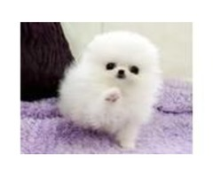 Authentic pomeranian Puppies available