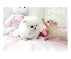 Stunning genuine 100% pomeranian puppies for adoption